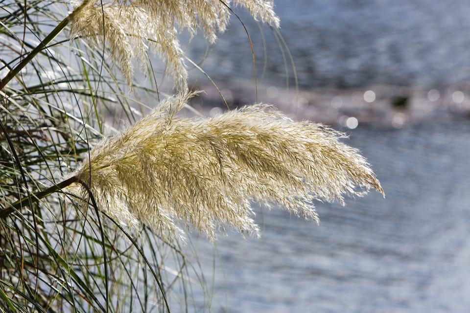 pampas grass for privacy