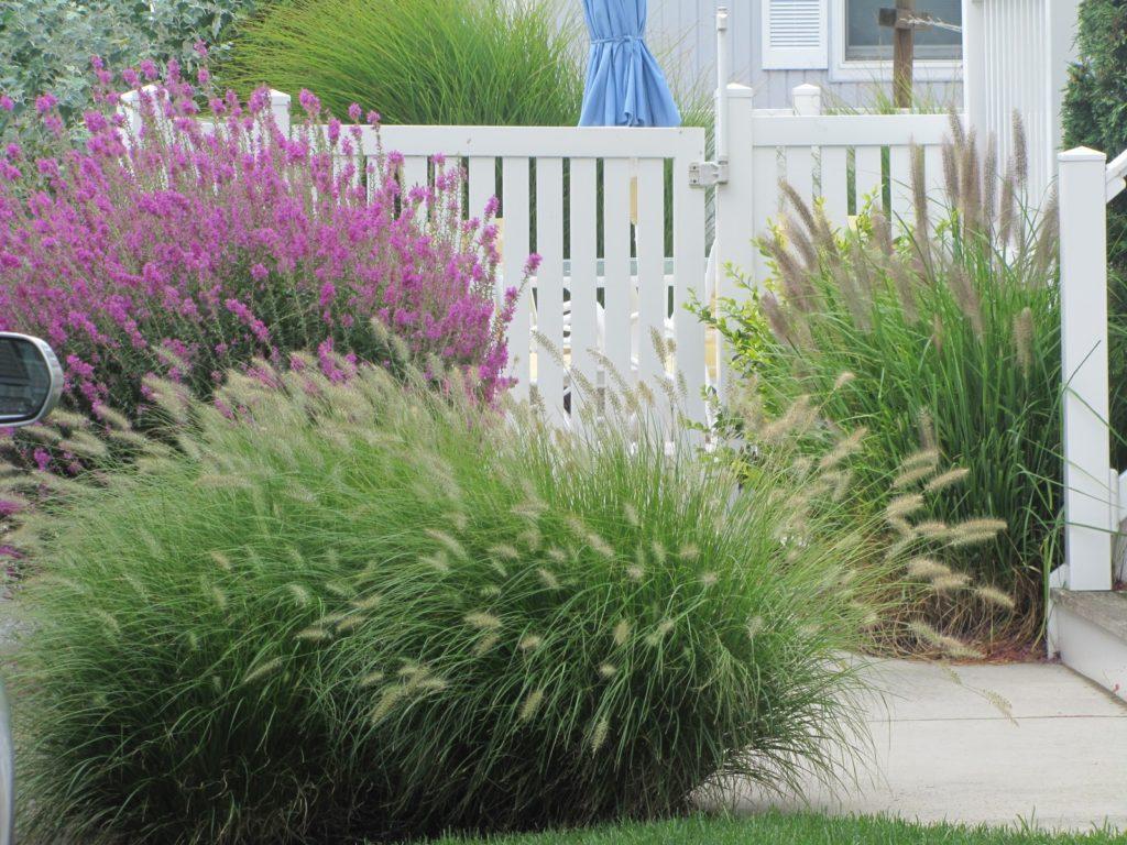 ornamental grass plants